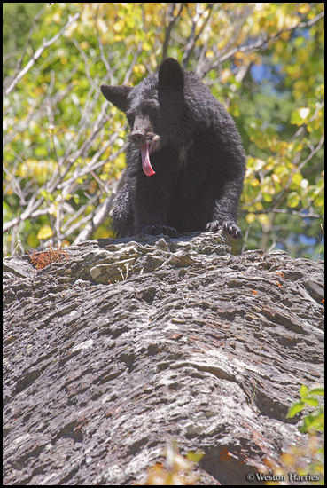 - Black Bear Sticking Its Tongue Out, Glacier NP -