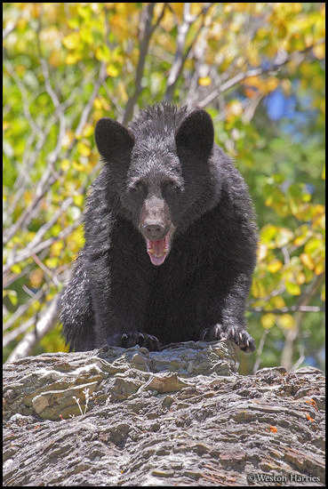 - Black Bear with Its Mouth Open, Glacier NP -