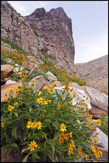 - Wildflowers Growing Below a Huge Cliff on Apikuni Mtn, Glacier NP -