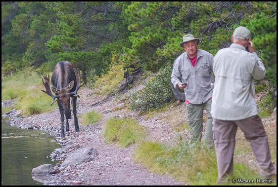 - Tourists Getting Close to a Bull Moose, Glacier NP -