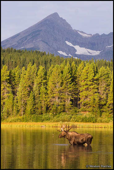 - Bull Moose Below Swiftcurrent Peak, Glacier NP -