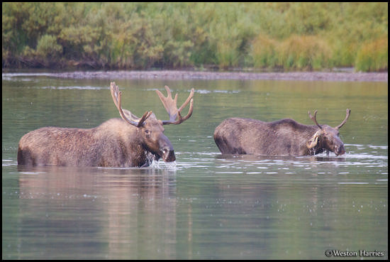 - Young Bull Moose Feeding Beside a Larger Bull, Glacier NP -