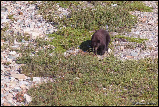 - Black Bear Browsing for Berries, Glacier NP -