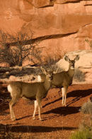 - Two Whitetail Deer in Front of a Sandstone Wall at Sunset, Arches NP -