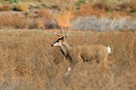 - Whitetail Buck, Arches NP -