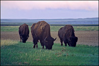 - Bison Grazing in the Sage Creek Area, Badlands NP -