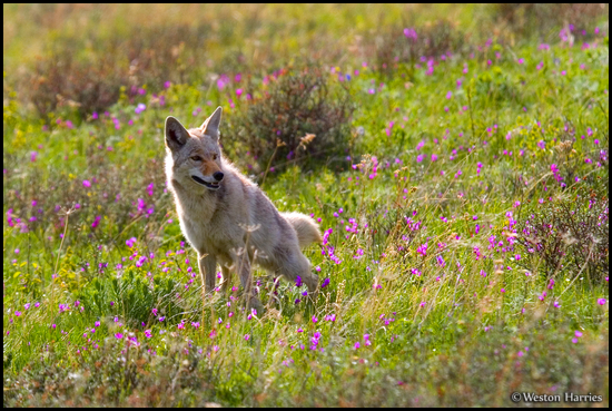 - Coyote Marking Its Territory in a Meadow, Glacier NP -