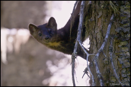- Curious Pine Marten Perched on a Tree, Glacier NP -