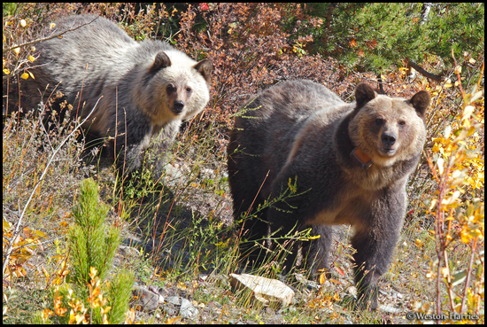 - Collared Grizzly Bear Sow and Her Blonde Cub, Glacier NP -