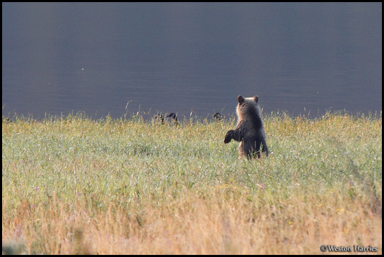 - Blonde Grizzly Bear Cub Standing to See Canadian Geese, Glacier NP -