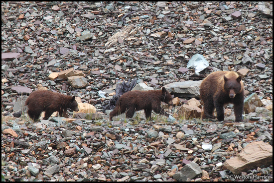 - Black Bear Sow With Two Cubs, Glacier NP -