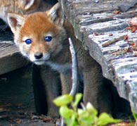 - Wild Blue Eyed Coyote Puppy, Grand Teton NP -
