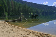 - Cow Moose Wading in the Phelps Lake Shallows, Grand Teton NP -