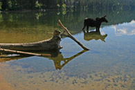 - Cow Moose Reflection in the Phelps Lake Shallows, Grand Teton NP -