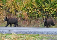 - Two Black Bear Cubs Crossing the Moose-Wilson Road, Grand Teton NP -