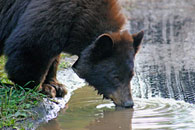 - Collared Black Bear Drinking From a Puddle, Grand Teton NP -