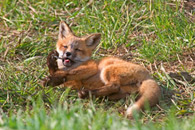 - Fox Kit Playing With a Feather, Grand Teton NP -