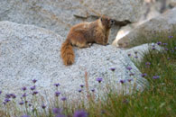 - Marmot on a Boulder, Surrounded by Purple Wildflowers, Sequoia NP -