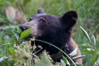 - Collared Black Bear Feeding on Berries in Crescent Meadow, Sequoia NP -