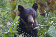 - Tagged and Collared Black Bear in Crescent Meadow, Sequoia NP -