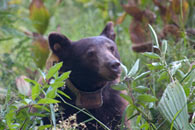 - Tagged and Collared Black Bear Feeding on Berries in Crescent Meadow, Sequoia NP -