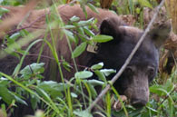 - Tagged Black Bear Stalking Through Crescent Meadow, Sequoia NP -