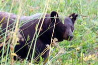- Collared Black Bear Stalking Through Log Meadow, Sequoia NP -