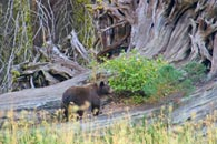 - Black Bear Walking on a Fallen Giant Sequoia, Sequoia NP -