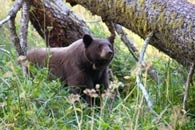 - Tagged and Collared Black Bear in Log Meadow, Sequoia NP -