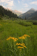 - Yellow Wildflowers in Farewell Canyon, Mineral King Area, Sequoia NP -