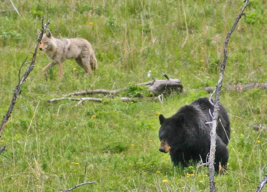 - Large Black Bear and Coyote, Yellowstone NP -