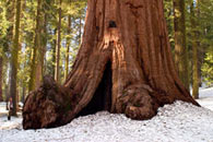 - Hiker Standing Behind a Giant Sequoia in Winter, Mariposa Grove, Yosemite NP -