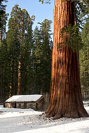 - Giant Sequoia Next to a Cabin in Winter, Mariposa Grove, Yosemite NP -