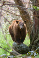 - Tagged Cinnamon Black Bear Sow Standing on a Rock, Yosemite NP -