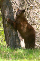 - Tagged Cinnamon Black Bear Sow Standing Up Against a Tree, Yosemite NP -