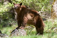 - Tagged Cinnamon Black Bear Sow Propped up on a Rock, Yosemite NP -