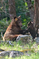 - Tagged Cinnamon Black Bear Sow Playing with Her Cub, Yosemite NP -