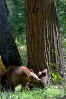 - Cinnamon Black Bear Sow Nipping at her Cub to Prompt Climbing, Yosemite NP -