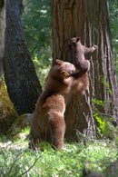- Cinnamon Black Bear Sow Pulling Her Cub Down From a Tree, Yosemite NP -